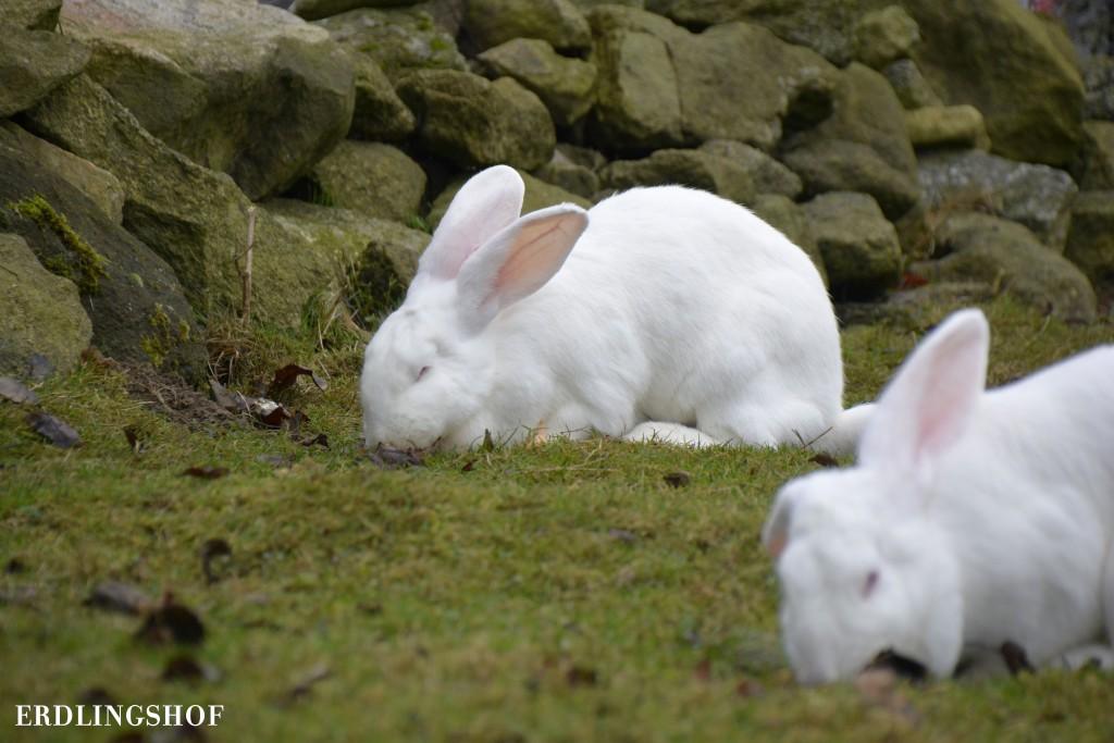 Neuen Kaninchen
