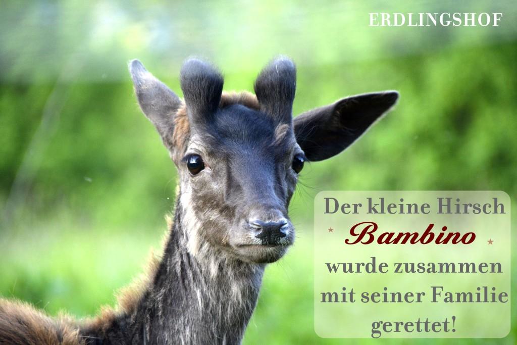 Damis_Bambino